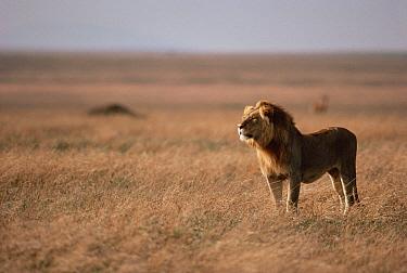 African Lion (Panthera leo) male gazing across plains, Serengeti National Park, Tanzania  -  Mitsuaki Iwago
