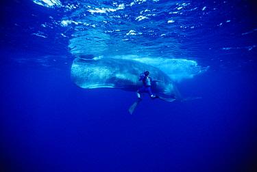 Sperm Whale (Physeter macrocephalus) filmed by Rick Rosenthal, Dominica  -  Flip Nicklin