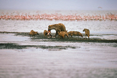 Spotted Hyena (Crocuta crocuta) feeding on Flamingo (Phoenicopterus sp) while Black-backed Jackals (Canis mesomelas) attempt to scavenge, Ngorongoro Crater, Tanzania  -  Mitsuaki Iwago