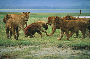 African Lion (Panthera leo) females attacking Spotted Hyena (Crocuta crocuta), Serengeti National Park, Tanzania  -  Mitsuaki Iwago
