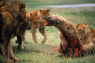 African Lion (Panthera leo) females and young males attacking and eventually killing a Spotted Hyena (Crocuta crocuta), Serengeti National Park, Tanzania  -  Mitsuaki Iwago