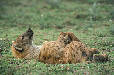 Spotted Hyena (Crocuta crocuta) sleeping on back, Serengeti  -  Mitsuaki Iwago