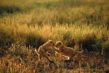 African Lion (Panthera leo) cubs playing, Serengeti National Park, Tanzania  -  Mitsuaki Iwago