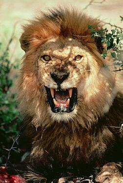 African Lion (Panthera leo) male growling, Serengeti National Park, Tanzania  -  Mitsuaki Iwago