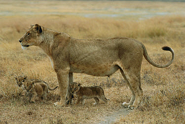 African Lion (Panthera leo) mother and three cubs, Serengeti National Park, Tanzania  -  Mitsuaki Iwago