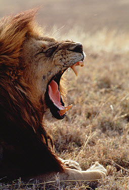 African Lion (Panthera leo) male yawning, Serengeti National Park, Tanzania  -  Mitsuaki Iwago