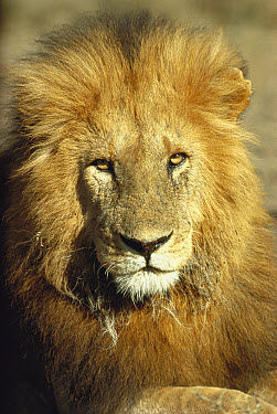 African Lion (Panthera leo) male, Serengeti National Park, Tanzania  -  Mitsuaki Iwago