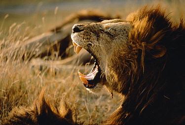 African Lion (Panthera leo) male roaring, Kenya  -  Mitsuaki Iwago