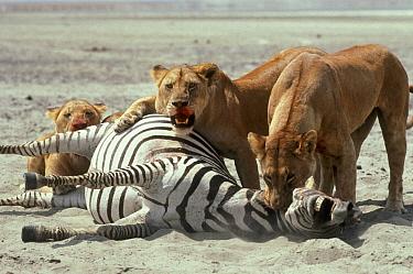 African Lion (Panthera leo) females killing Burchell's Zebra (Equus burchellii), Serengeti National Park, Tanzania  -  Mitsuaki Iwago