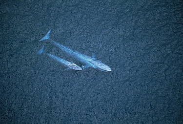 Blue Whale (Balaenoptera musculus) mother and calf, Santa Barbara Channel, California