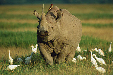 Black Rhinoceros (Diceros bicornis) grazing in grassland surrounded by a flock of Cattle Egrets (Bubulcus ibis), Ngorongoro Crater, Tanzania  -  Mitsuaki Iwago