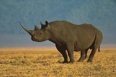 Black Rhinoceros (Diceros bicornis) portrait, Ngorongoro Crater, Tanzania  -  Mitsuaki Iwago
