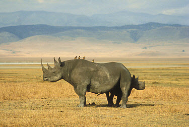 Black Rhinoceros (Diceros bicornis) mother and baby with Red-billed Oxpeckers (Buphagus erythrorhynchus), Ngorongoro Crater, Tanzania  -  Mitsuaki Iwago