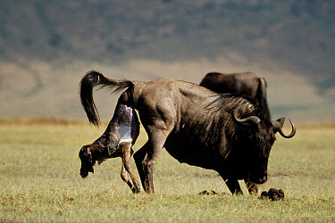 Blue Wildebeest (Connochaetes taurinus) mother giving birth, Serengeti  -  Mitsuaki Iwago