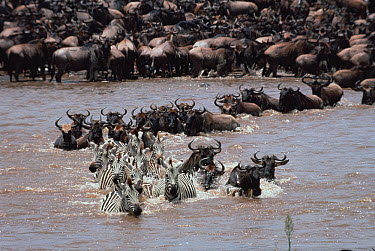 Blue Wildebeest (Connochaetes taurinus) herd with Burchell's Zebra (Equus burchellii) crossing river during migration, Serengeti  -  Mitsuaki Iwago