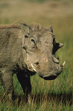 Warthog (Phacochoerus africanus) portrait, Serengeti National Park, Tanzania  -  Mitsuaki Iwago