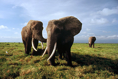 African Elephant (Loxodonta africana) trio on savannah with Mt Kilimanjaro in the background, Serengeti National Park, Tanzania  -  Mitsuaki Iwago