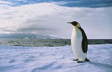 King Penguin (Aptenodytes patagonicus) at edge of ice shelf, Antarctica  -  Mitsuaki Iwago