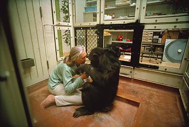 Chimpanzee (Pan troglodytes) visited by Jane Goodall, Gombe Stream National Park, Tanzania  -  Mitsuaki Iwago