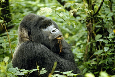 Mountain Gorilla (Gorilla gorilla beringei) male feeding on bark, Democratic Republic of the Congo  -  Shin Yoshino