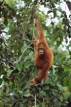 Orangutan (Pongo pygmaeus) juvenile hanging in tree, Sepilok Forest Reserve, Sabah, Borneo, Malaysia  -  Shin Yoshino
