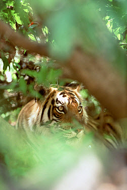 Bengal Tiger (Panthera tigris tigris) portrait in jungle, India  -  Shin Yoshino