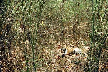 Bengal Tiger (Panthera tigris tigris) sleeping on floor of bamboo forest, India  -  Shin Yoshino