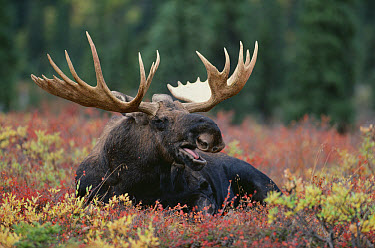 Alaska Moose (Alces alces gigas) male calling while reclining in autumn tundra, Alaska  -  Shin Yoshino