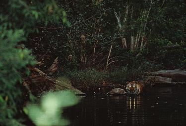 Bengal Tiger (Panthera tigris tigris) drinking in river at night, India  -  Shin Yoshino