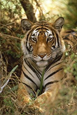 Bengal Tiger (Panthera tigris tigris) portrait, Ranthambore National Park, India  -  Shin Yoshino