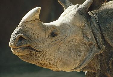 Indian Rhinoceros (Rhinoceros unicornis) portrait, India  -  Shin Yoshino