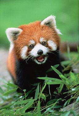 Lesser Panda (Ailurus fulgens) an endangered species, calling, Japan  -  Shin Yoshino