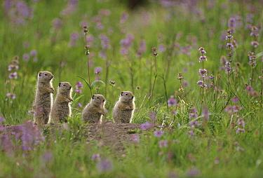 Unita Ground Squirrel (Spermophilus armatus) group backlit, North America  -  Shin Yoshino