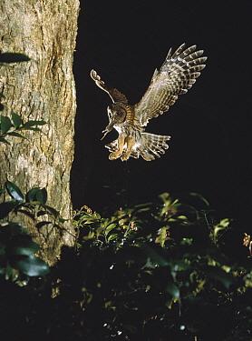 Ural Owl (Strix uralensis) returning to nest with prey, Japan  -  Shin Yoshino