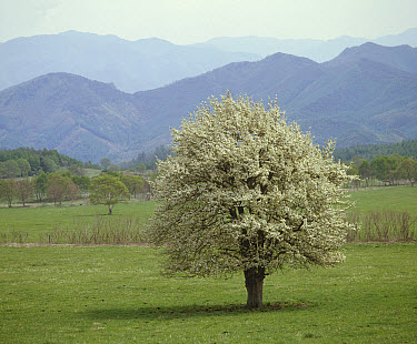 Asian Pear (Pyrus pyrifolia) tree blooming in spring, Japan. Sequence 1 of 4  -  Shin Yoshino