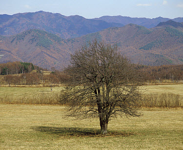 Asian Pear (Pyrus pyrifolia) tree with bare branches in fall, Japan. Sequence 2 of 4  -  Shin Yoshino