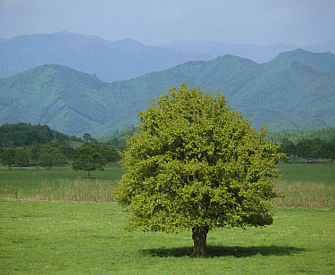 Asian Pear (Pyrus pyrifolia) tree with leaves in summer, Japan. Sequence 3 of 4  -  Shin Yoshino