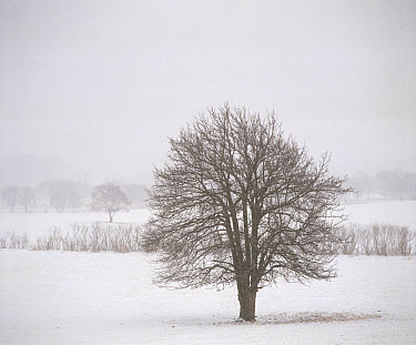 Asian Pear (Pyrus pyrifolia) tree with bare branches in winter, Japan. Sequence 4 of 4  -  Shin Yoshino