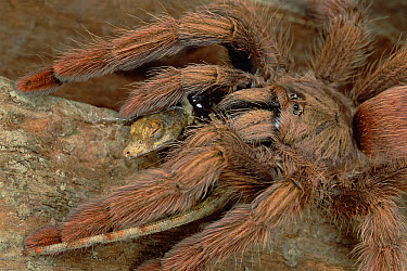 Tarantula (Tapinauchenius latipes) eating an Anoles Lizard, Rio Mormon, Peru  -  Mark Moffett