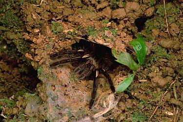Tarantula (Theraphosidae) in burrow, Bolivar, Venezuela  -  Mark Moffett