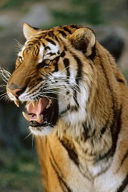 Bengal Tiger (Panthera tigris tigris) growling, Ranthambore National Park, India  -  Shin Yoshino