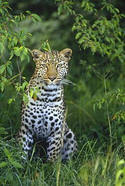 Leopard (Panthera pardus) portrait, Masai Mara, Kenya  -  Shin Yoshino