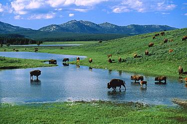 American Bison (Bison bison) herd drinking from lake, Yellowstone National Park, Wyoming  -  Shin Yoshino