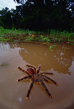 Peruvian Pinktoe Tarantula (Avicularia urticans) flooded from nest by annual 20-30 rise of the Amazon River caused by runoff from the Andes, Peru  -  Mark Moffett