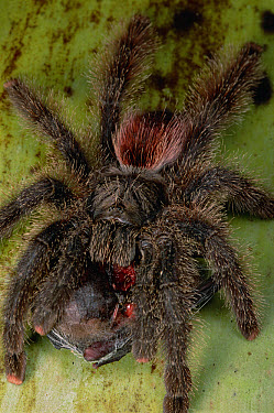 Tarantula (Avicularia sp) feeding on a bat, Rio Yarapa, Peru  -  Mark Moffett
