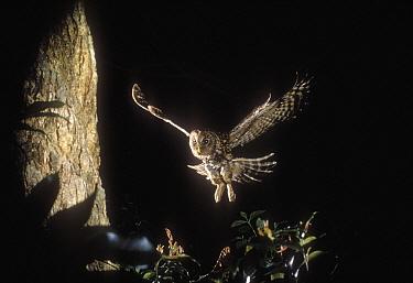 Ural Owl (Strix uralensis) returning to nest, Nagasaki, Japan  -  Shin Yoshino