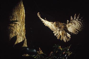 Ural Owl (Strix uralensis) landing on nest at night, Nagasaki, Japan  -  Shin Yoshino