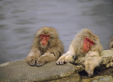 Japanese Macaque (Macaca fuscata) pair resting in hot spring, Japan  -  Shin Yoshino