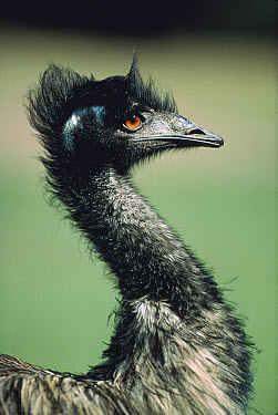Emu (Dromaius novaehollandiae) portrait, Australia  -  Shin Yoshino