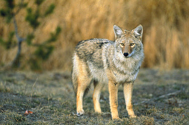 Coyote (Canis latrans) portrait, Yellowstone National Park, Wyoming  -  Shin Yoshino